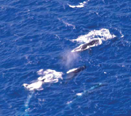 Maui-Whale-Watching-Helicopter-Tour